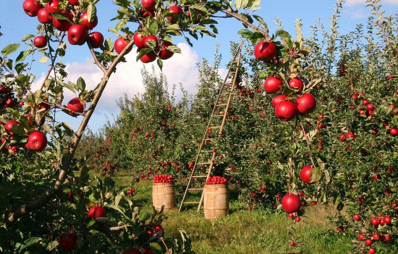 omena terveellisyys ja ravintosisältö
