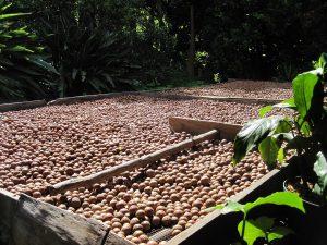 Macadamia pähkinä ravintoarvot ravintosisältö