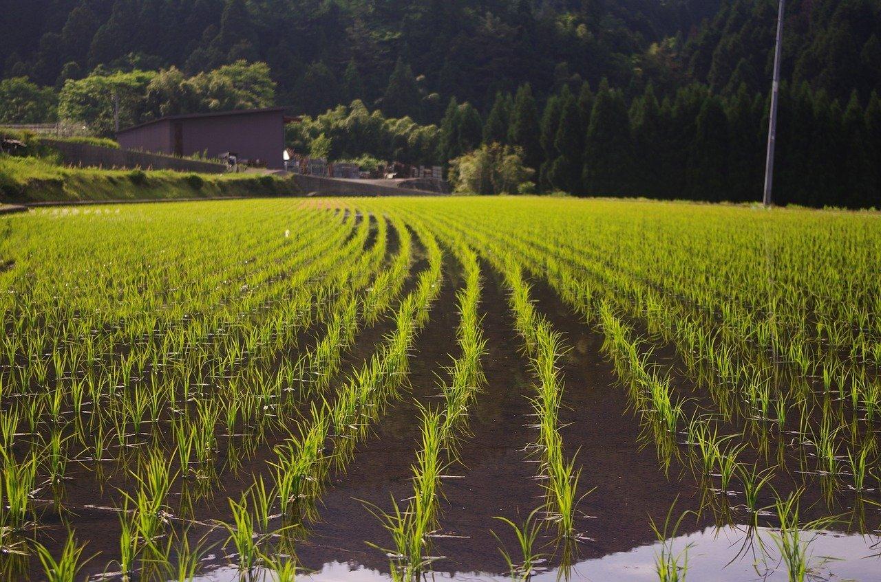 Riisi ravintoarvot ja terveysvaikutukset