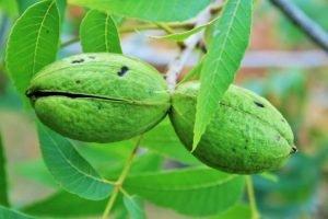 pekaanipähkinä puu (terveysvaikutukset ja ravintoarvot)