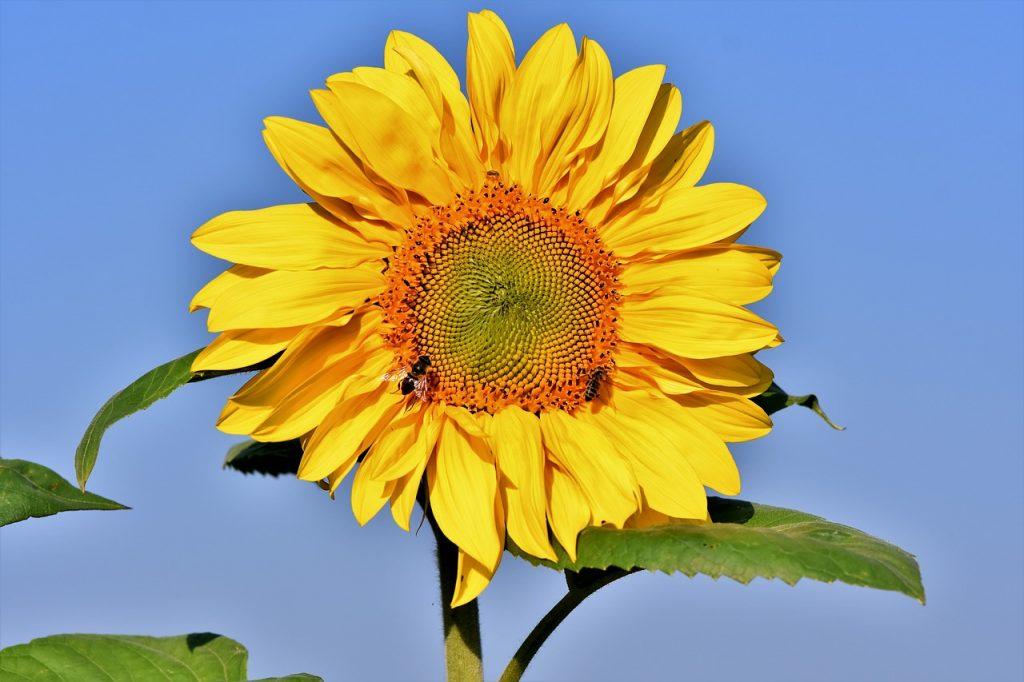 auringonkukka, siemenet, sisältö ja terveellisyys